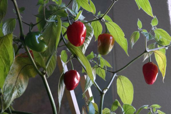 rocoto-baum-chili-fruechte