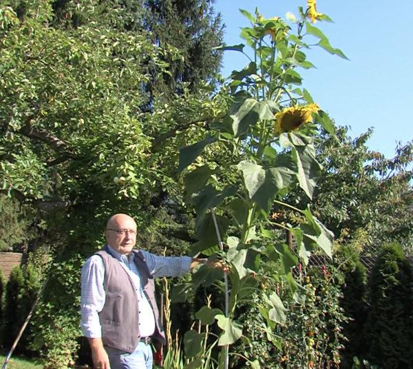 riesen-Sonnenblumen-zuechten