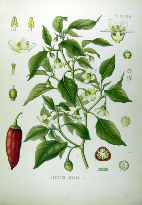 Illustration_Capsicum_annuum1