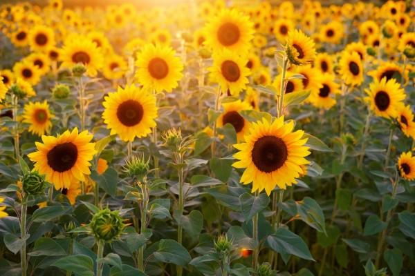 sunflower-3550693_12802Nsu7sOBv3zNY